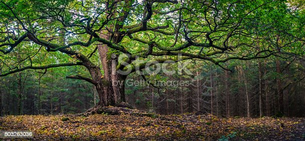 Scenic and big oak at autumn day in Finland. This oak is over 400 years old.