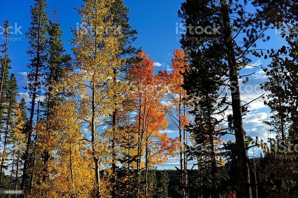 Scenic Autumn Aspen Tree Forest stock photo