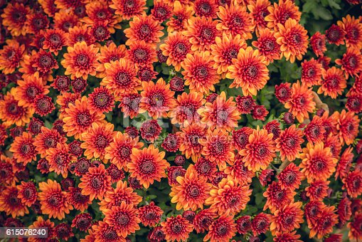 Autumn floral pattern. Bright autumn chrysanthemum