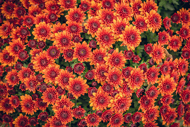 Scenic autumn chrysanthemums Autumn floral pattern. Bright autumn chrysanthemum perennial stock pictures, royalty-free photos & images