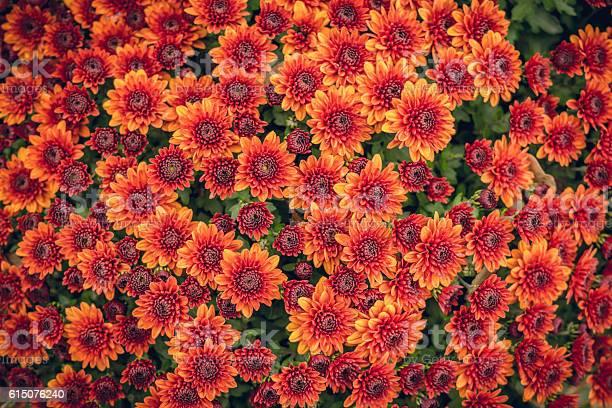 Photo of Scenic autumn chrysanthemums