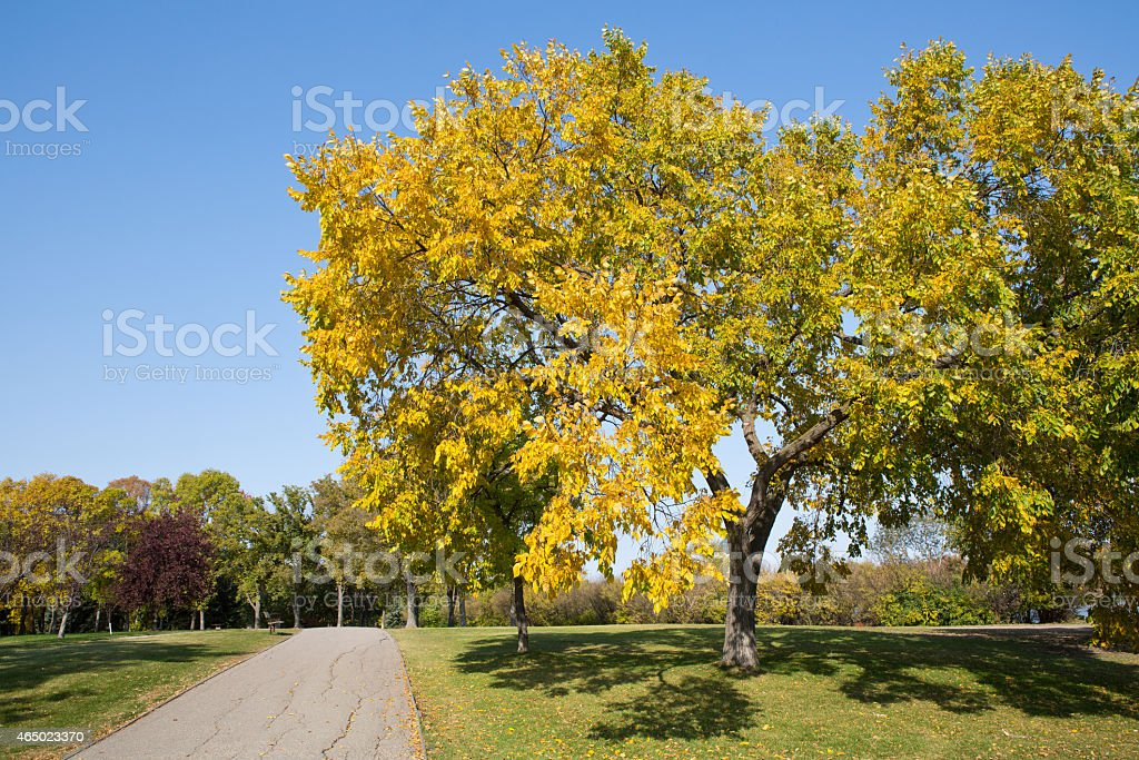 Scenic autumn trail in city park with American elm tree stock photo