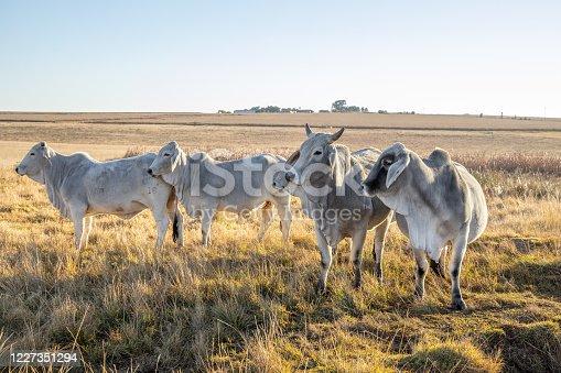 White Brahman cattle in a field