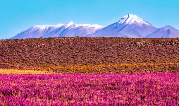 前景與冰雪覆蓋的火山帶開花植物的風景景觀 - 玻利維亞 個照片及圖片檔