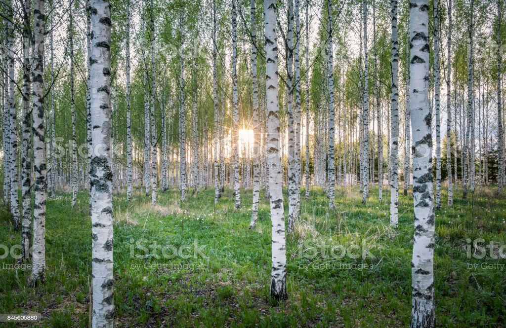 Scenic landscape with many birch tree and sun rays at summer evening stock photo