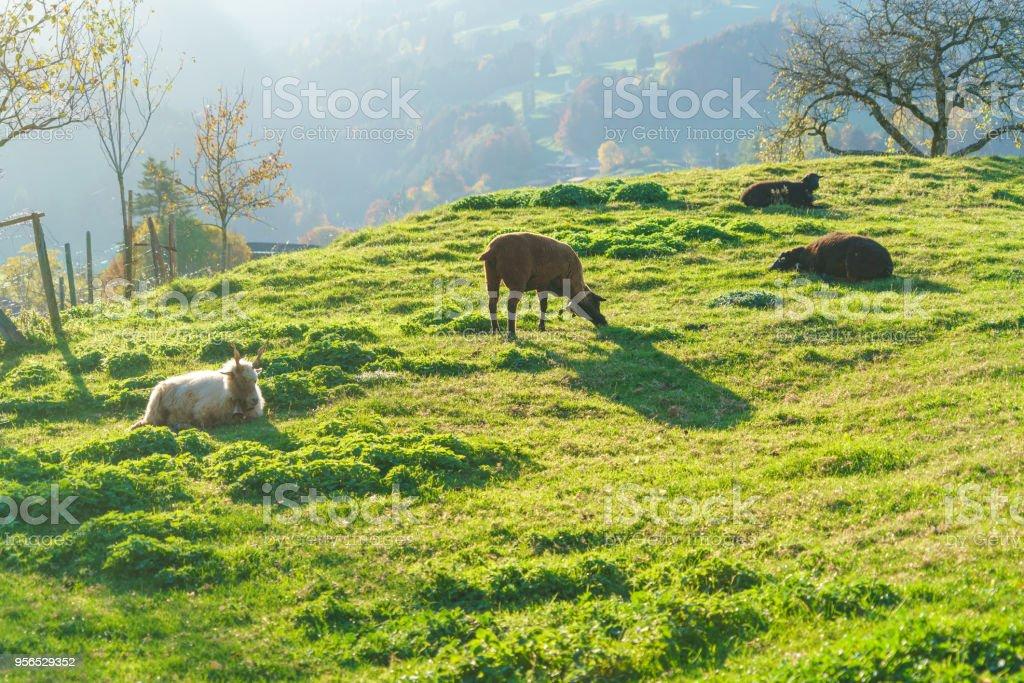Malerische Landschaft mit Schafen und Ziegen, Gruyères, Schweiz - Lizenzfrei Alt Stock-Foto