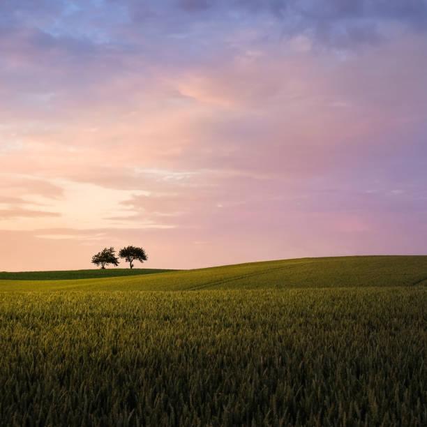 natursköna landskap med solnedgången en två träd på sommarkväll - skåne bildbanksfoton och bilder