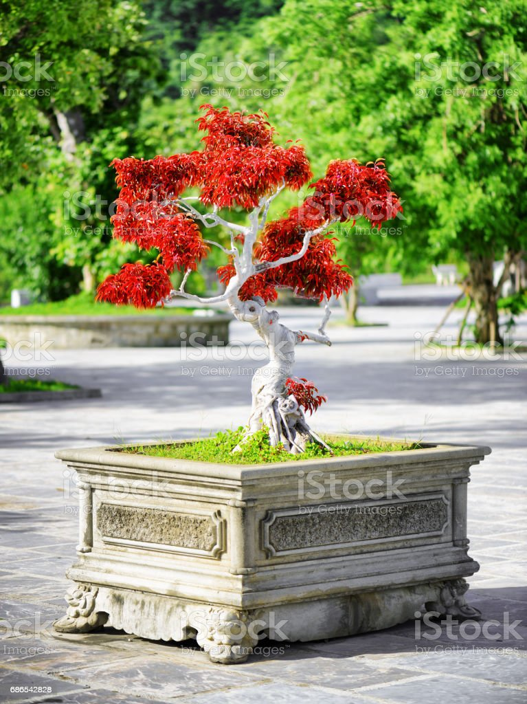 Scenic red Bonsai tree growing in pot outdoors foto stock royalty-free