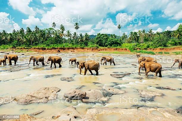 Scenic shot of pin walk elephants at Sri Lanka orphanage