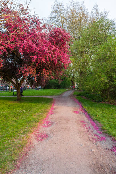 Scenic Springtime View of a Winding Garden Path Lined by Beautiful Cherry Trees in Blossom at Whitworth Park in Manchester stock photo