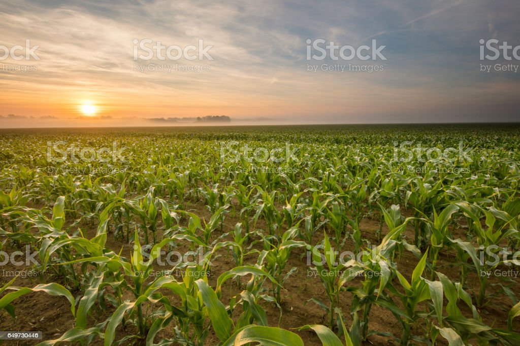 Scenic view of corn plants on field during sunset stock photo