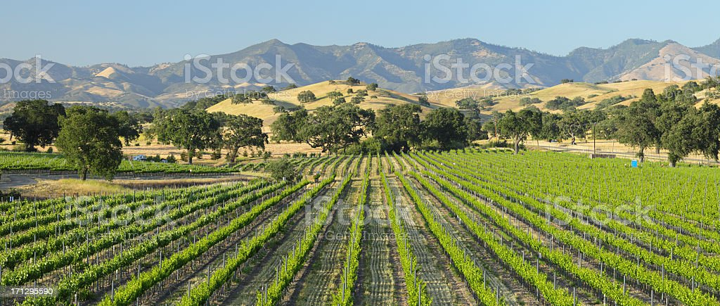 Scenic view of green Santa Barbara Vineyard stock photo