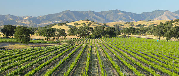 Scenic view of green Santa Barbara Vineyard Vineyard landscape (Santa Ynez Valley, California). santa barbara california stock pictures, royalty-free photos & images