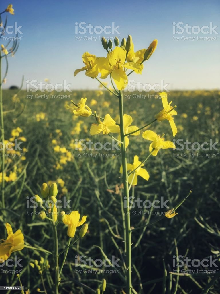 Scenic view of oilseed rape field before full bloom in Oxfordshire, England - Royalty-free Agricultural Field Stock Photo