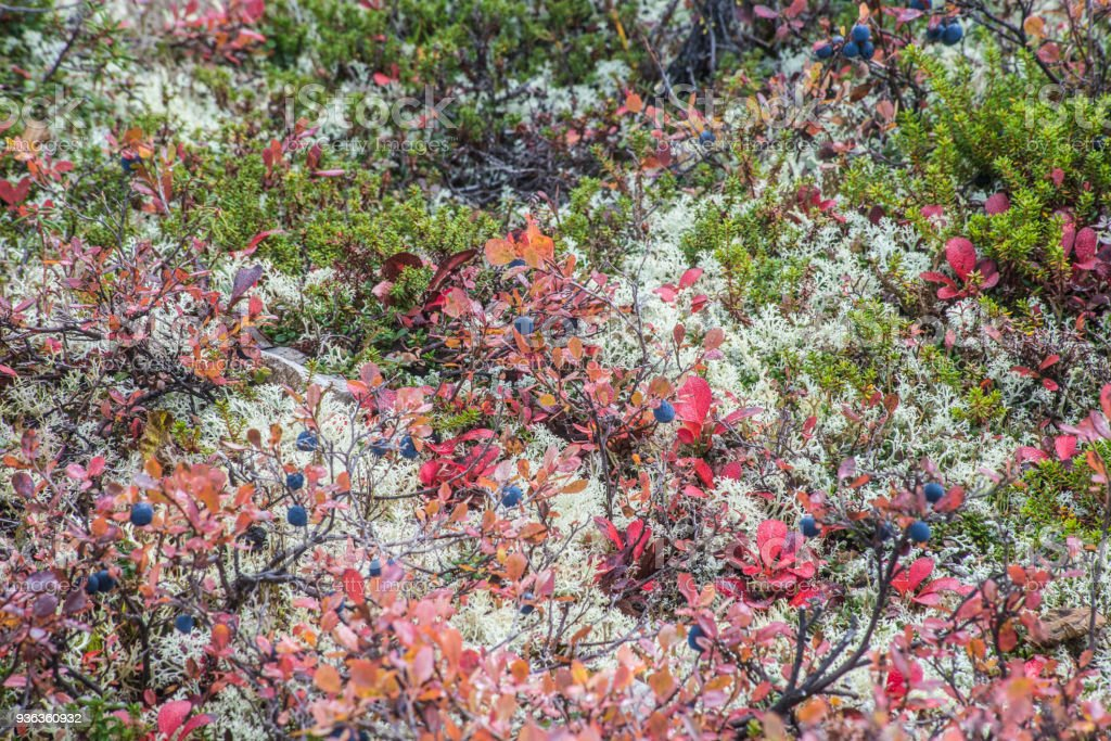 A scenic view of ripe Blueberries, red leaves, and green moss in Denali National Park. stock photo