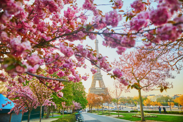 Scenic view of the Eiffel tower with cherry blossom trees in full bloom in Paris stock photo