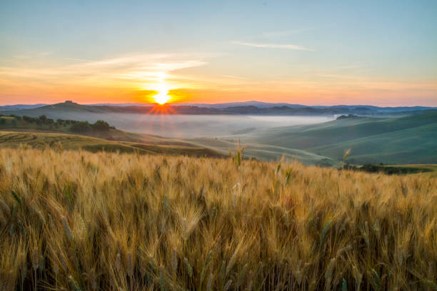 Scenic view of wheat crops growing in fields stock photo