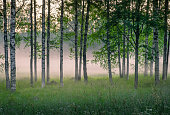 Scenic woodland landscape with foggy mood and birch trees at summer night in Finland