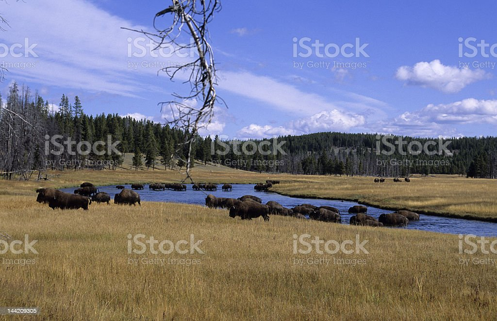 Scenic-Bison-Herd  crossing river in Yellowstone royalty-free stock photo