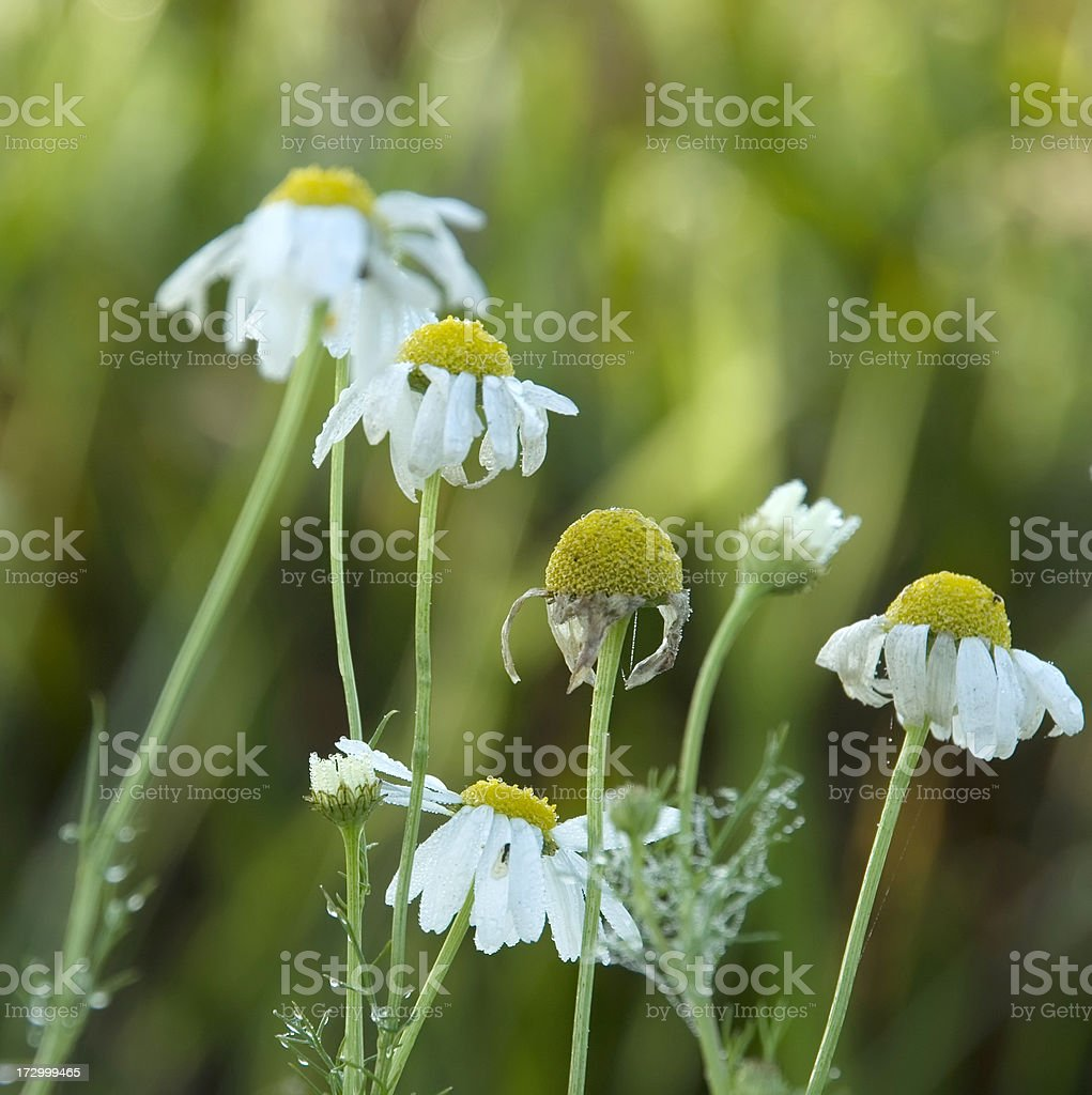 Scented Mayweed (Matricaria recutita) in September with Dew royalty-free stock photo