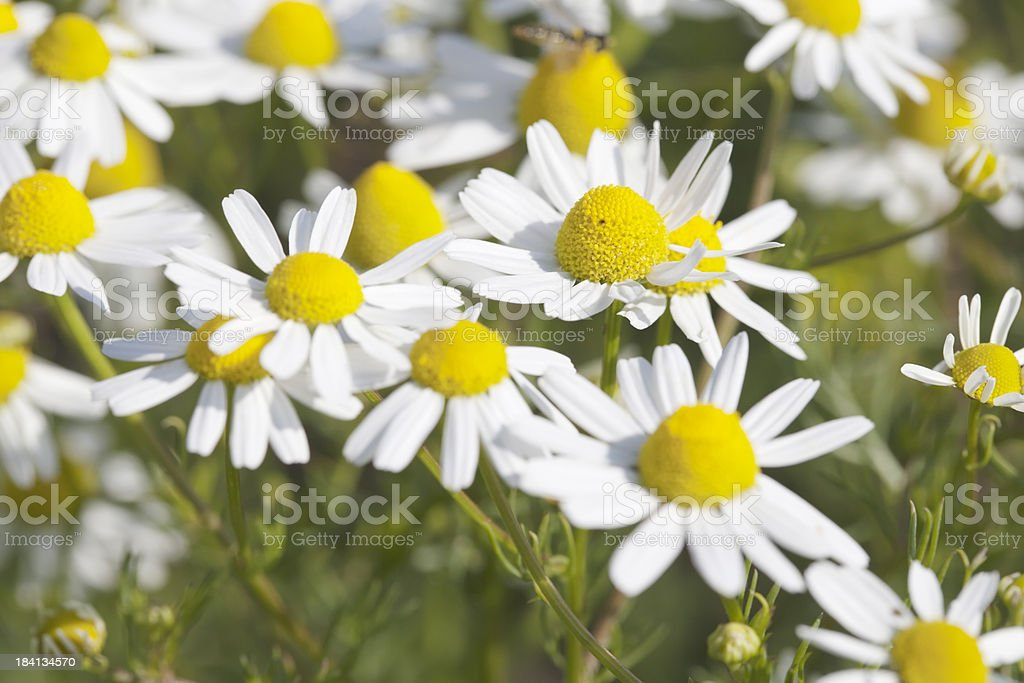 Scented Mayweed (Matricaria recutita) royalty-free stock photo
