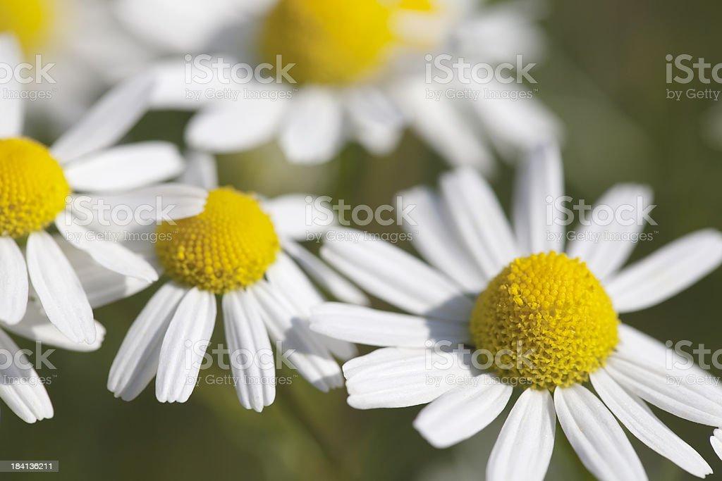 Scented Mayweed (Matricaria recutita) royalty-free stock photo
