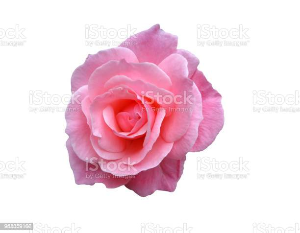 Scented pink rose isolated on white picture id958359166?b=1&k=6&m=958359166&s=612x612&h=bitsoly9i5xq6mbuig1yruew1qic4b5phwloeelfngg=