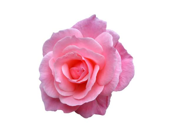 Scented pink rose isolated on white picture id958359166?b=1&k=6&m=958359166&s=612x612&w=0&h=7tyz2naa pod2umsxhjgi2bplyyfijysoswc96oknea=