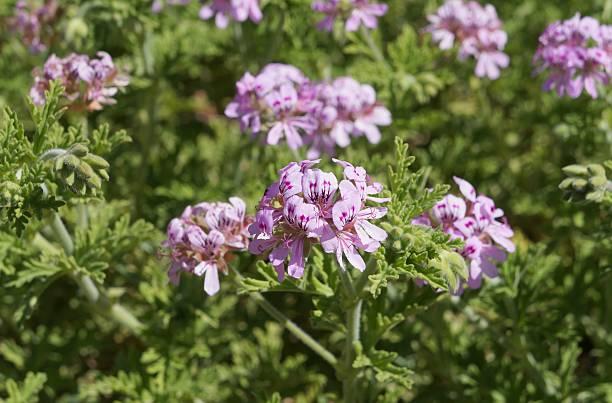 profumo-leaved pelargonium - oli, aromi e spezie foto e immagini stock