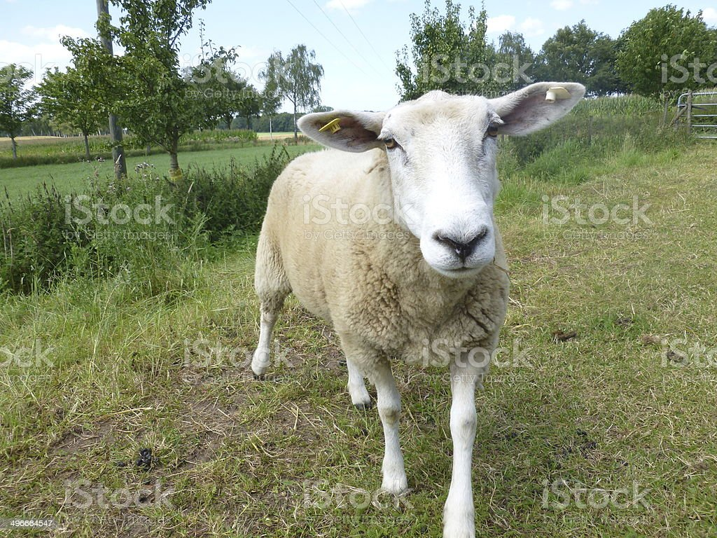 guckt sheep farm Lizenzfreies stock-foto