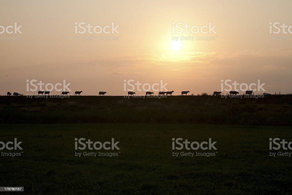 Schafe auf dem Deich royalty-free stock photo
