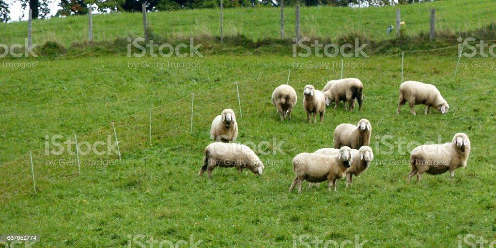 Schafe auf der Wiese stock photo