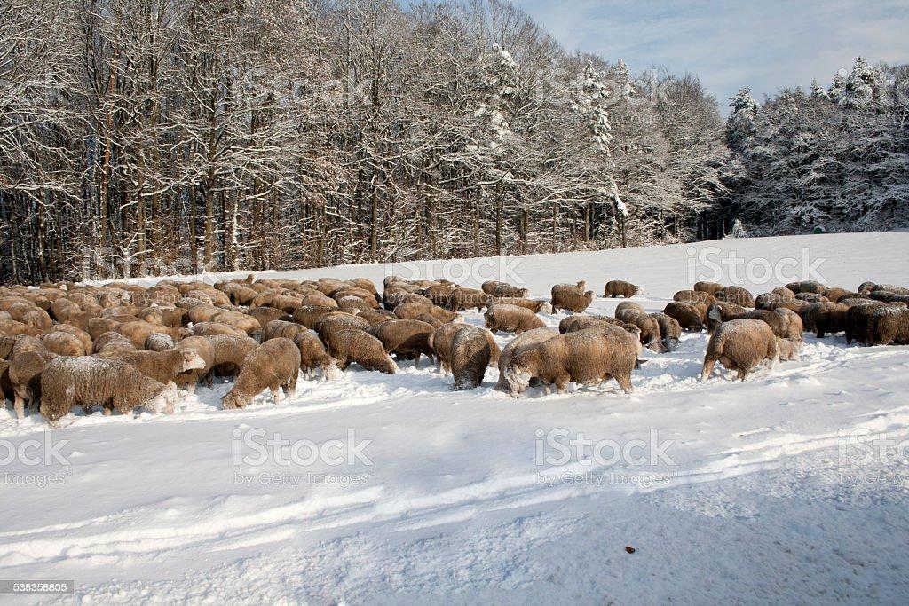 Schafe im Schnee stock photo