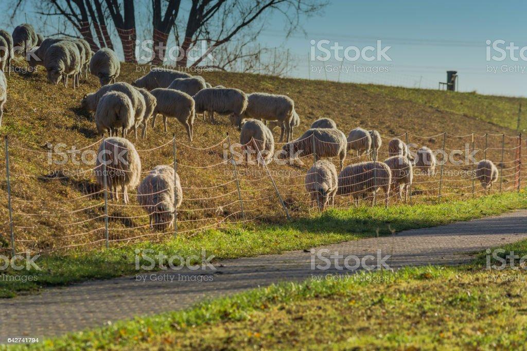 Schafherde auf einem Deich. stock photo