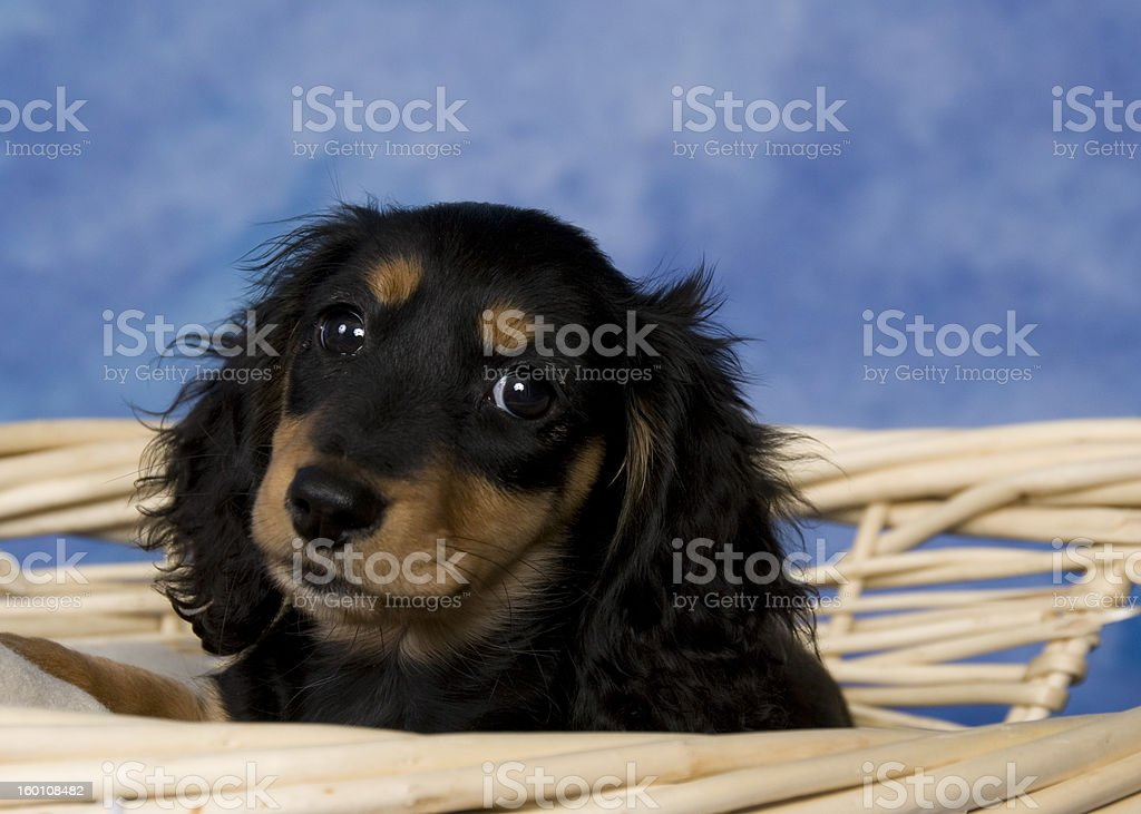 Schatzi The Black And Tan Dachshund Puppy Stock Photo Download Image Now Istock