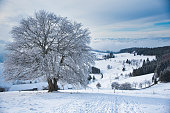 ice covered beech tree in front of snow covered landscape of the Schauinsland