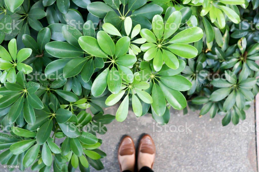 Fotografía de Schefflera Actinophylla O árbol De Paraguas y más ...