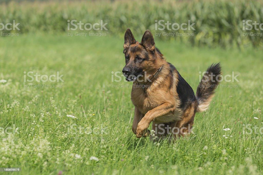 Schäferhund royalty-free stock photo