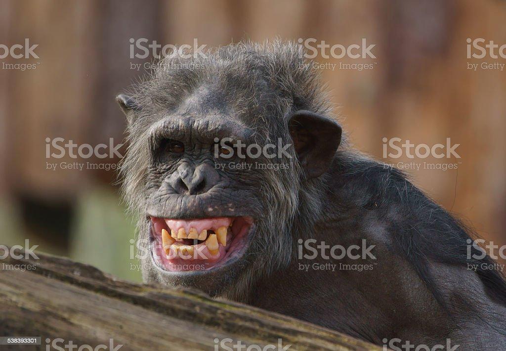 Schimpanse stock photo