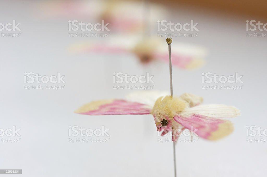 Schinia florida, the Primrose Moth royalty-free stock photo