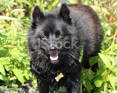 Happy schipperke wet from the grass smiles at the camera