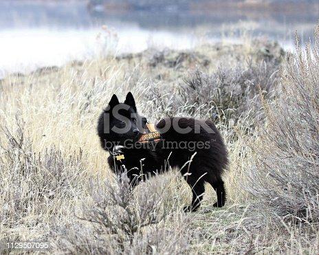a Schipperke dog standing in the scrub brush looks alertly around