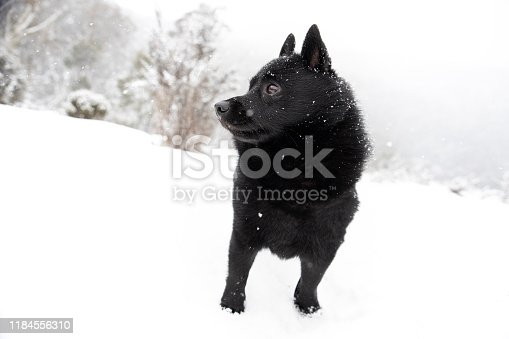Old Snow gum tree in the snow, Victorian high country, Victoria, AustraliaA Schipperke dog enjoying an adventure in the snow.
