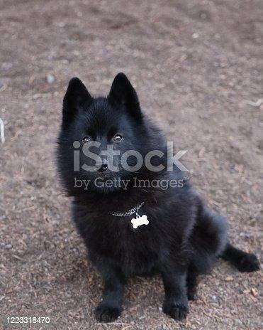 Schipperke dog listens for his master's voice.