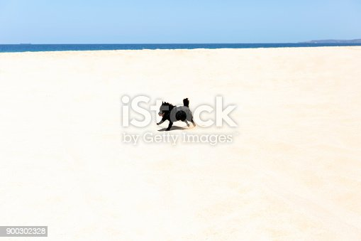 Schipperke, small black dog on the beach, blue sky background with copy space, full frame horizontal composition