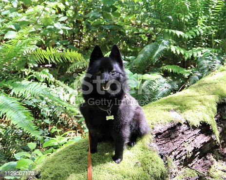 Happy Schipperke dog explores a fallen tree covered with moss