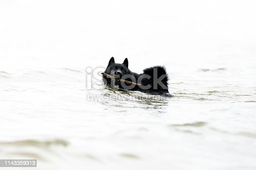Schipperke, small black dog playing in the water, background with copy space, full frame horizontal composition