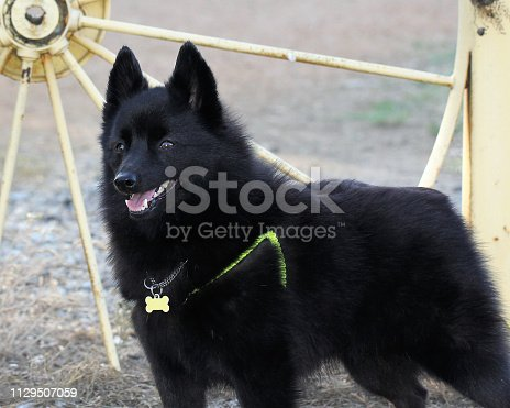 beautiful male schipperke dog standing with alert expression
