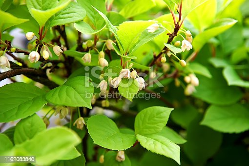 Spring flowering Chinese Magnolia vine, lat. Schisandra chinensi. Selective focus