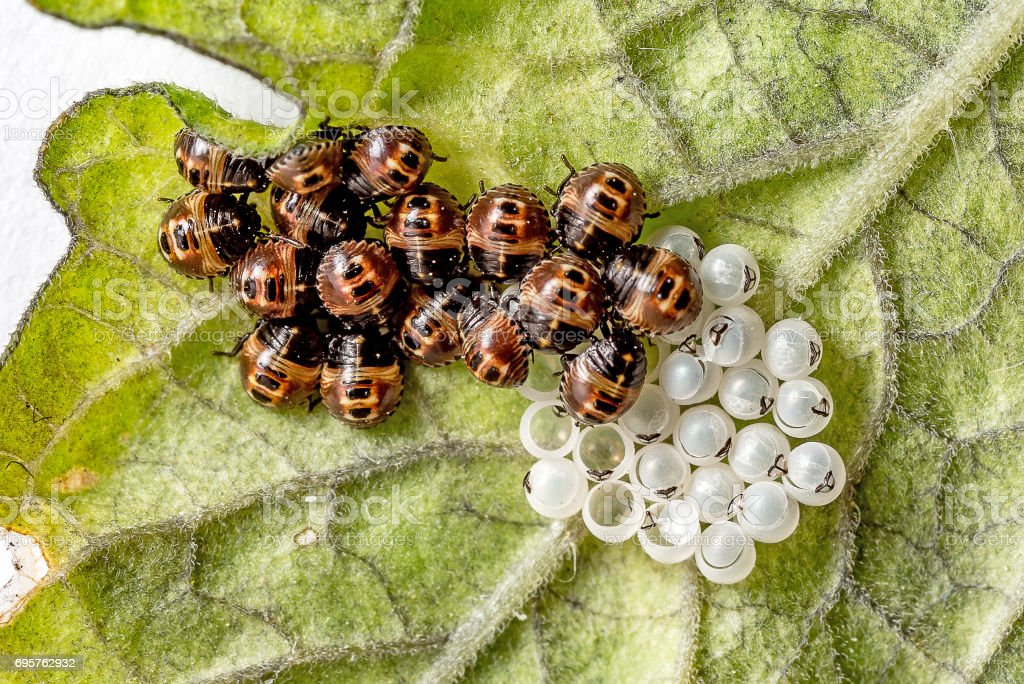 Schlüpfende Marienkäferlarven mit Eiern stock photo